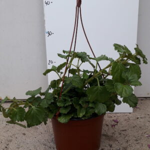 Planta del diner
