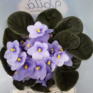 Violeta-africana
